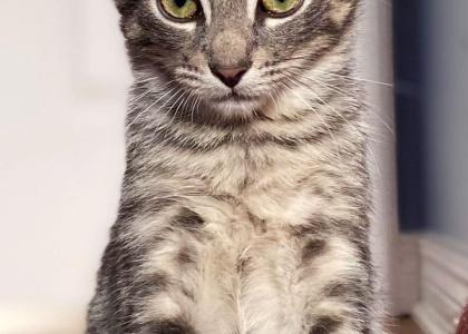 Munchkin-Kitten