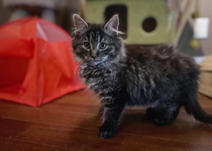 Furby-Kitten