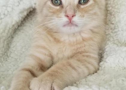 Eeyore-Kitten