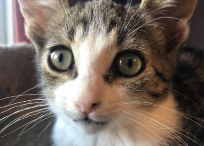Blake-Kitten