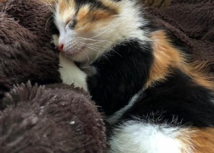Lilah-Kitten