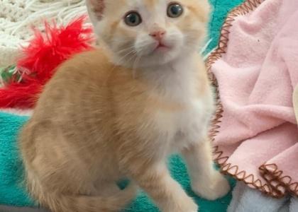 Chester- Kitten