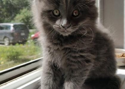 Murdoch- Kitten
