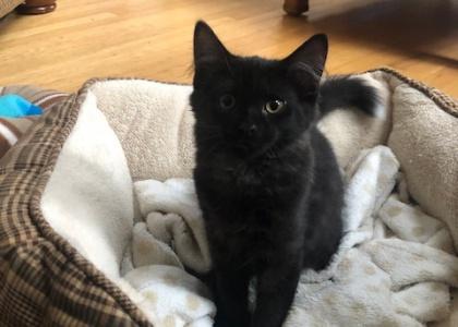 Walnut-Kitten