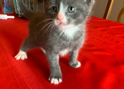 Twix- Kitten