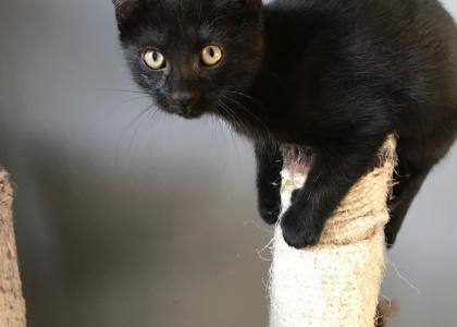 Ram-Kitten