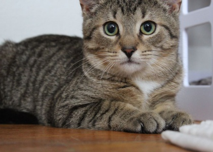 Primo-Kitten