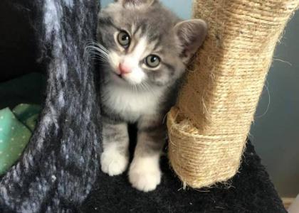 Hershey- Kitten