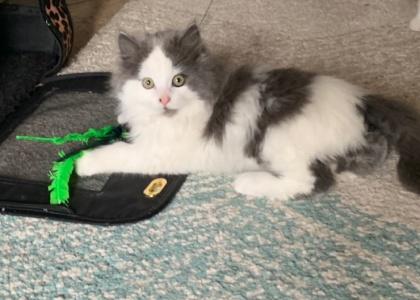 Puffin- Kitten
