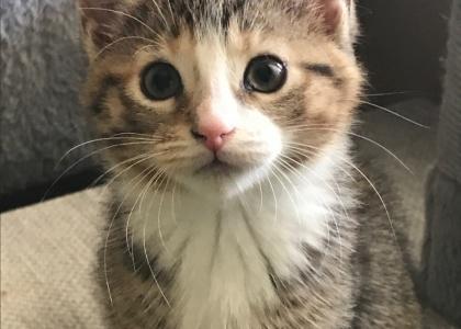 Buttercup-Kitten