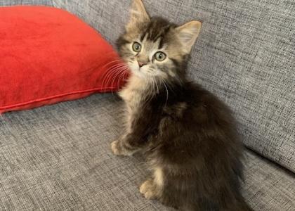 Harris- Kitten