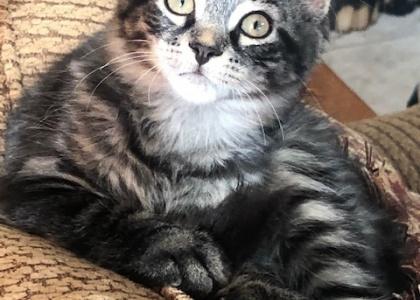 Almond-Kitten