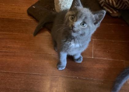Jazzy- Kitten