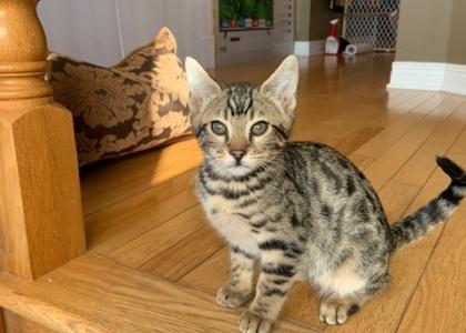 Nora- Kitten