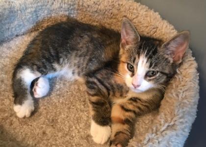Marigold-Kitten