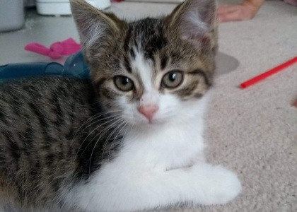 Adele-Kitten