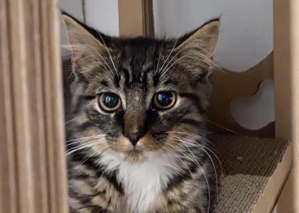 Teddy-Kitten