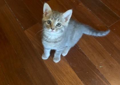 Harmony- Kitten