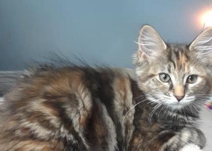 Primrose-Kitten