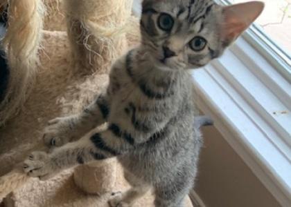 Queenie-Kitten
