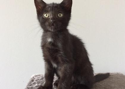 Sylvester-Kitten