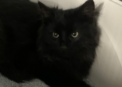 Whicket- Kitten