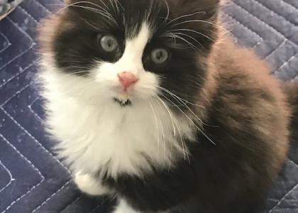 Alistar-Kitten