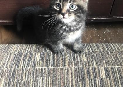Simba-Kitten