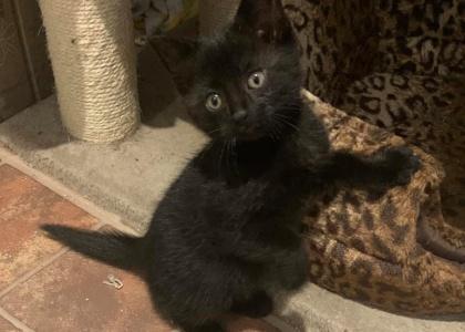 Raven- Kitten