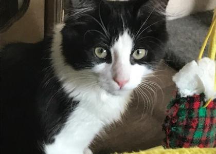 Presley-Kitten