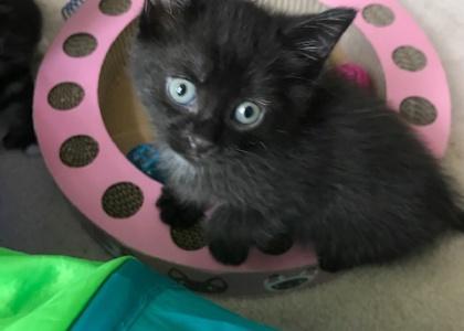 Blueberry-Kitten