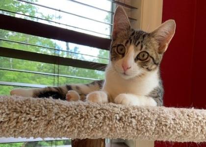 Piper- Kitten