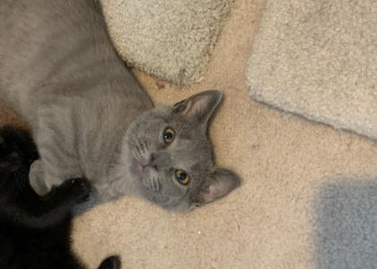 Elvis- Kitten