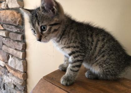 Whistler-Kitten