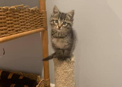 Riley- Kitten