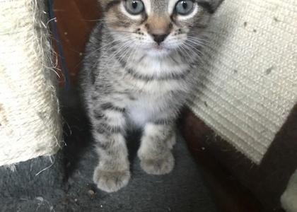 Jersey-Kitten