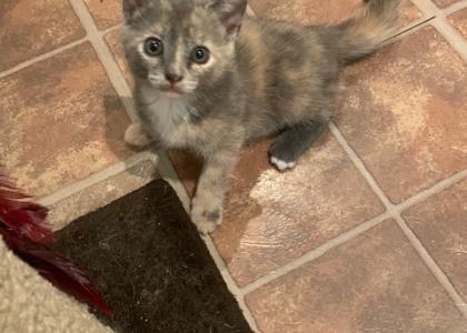 Sage- Kitten
