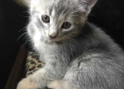 Butterfinger-Kitten