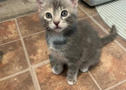 Nutmeg- Kitten