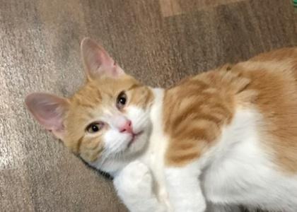 Ginger-Kitten