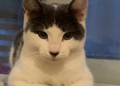 Elvis-Kitten