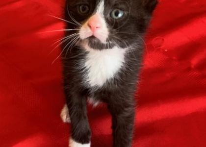 Snickers- Kitten