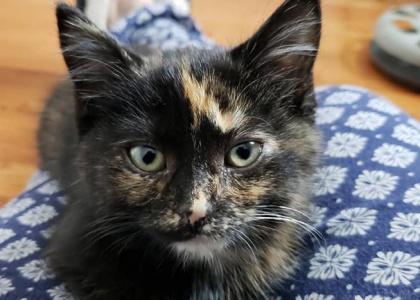 Portia-Kitten