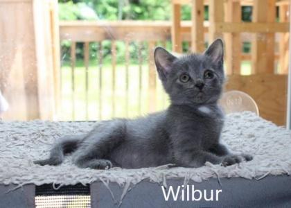 Wilbur- Kitten