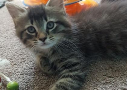 Fuffly Snickers- Kitten