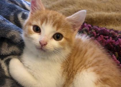 Pumpernickel-Kitten