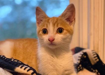 Tiko-Kitten
