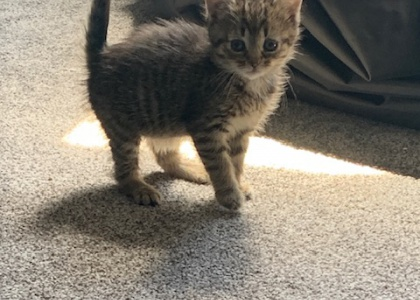 Pretzel- Kitten