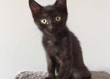 Bagheera-Kitten