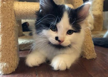 Bettlejuice-Kitten